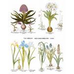 Joggles Collage Sheets - Basilius Besler Botanical Plate I [JG401062]