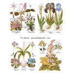 Joggles Collage Sheets - Basilius Besler Botanical Plate II [JG401064]